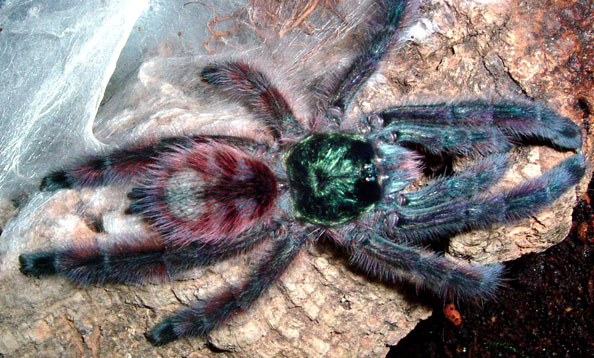 the characteristics of the chilean rose tarantula a tarantula species Plants and animals have predictable cycles as a basis for  different  characteristics and body parts of a rose hair tarantula by completing their  rose  hair tarantula lives in the desert and scrub regions in chile and argentina the  rose hair.