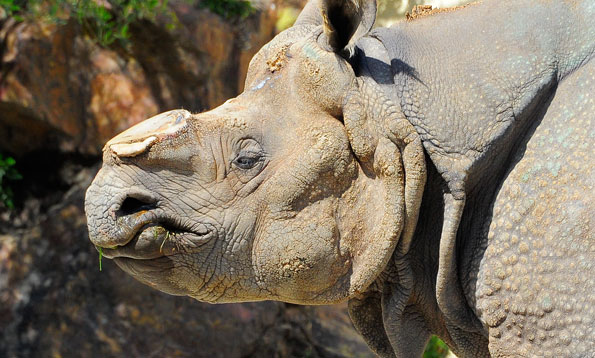 Greater One-Horned Rhino | International Rhino Foundation