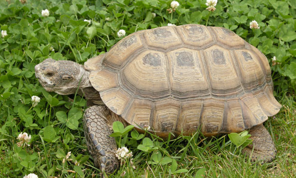 characteristics of the desert tortoise Read about gopherus agassizii ((californian) desert tortoise) on the animal diversity web.