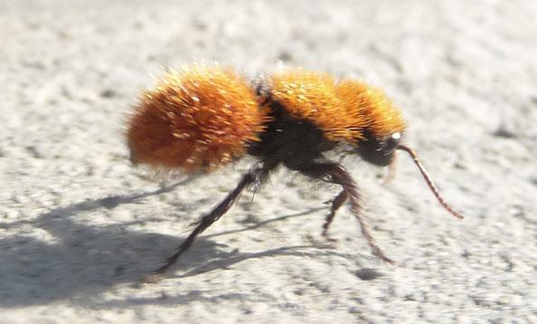 Fascinating Facts Yellow Velvet Ant